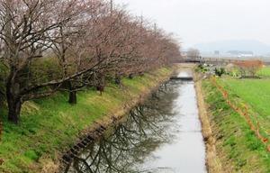 20130328_桜_02.jpg