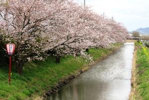 20130403_桜_02.jpg