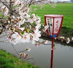 20130404_桜_01.jpg