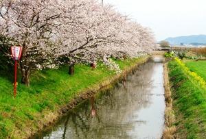 20130404_桜_03.jpg