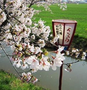 20130405_桜_03.jpg