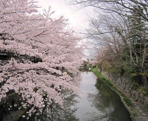 20130406_八幡堀の桜_01.jpg