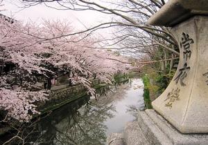 20130406_八幡堀の桜_02.jpg