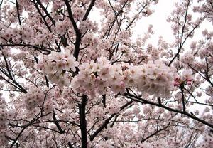 20130406_八幡堀の桜_03.jpg